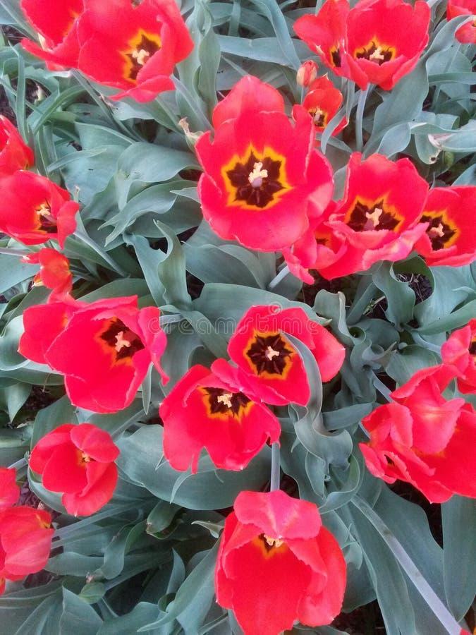 As flores da tulipa vermelha florescem no vermelho e no verde fotos de stock