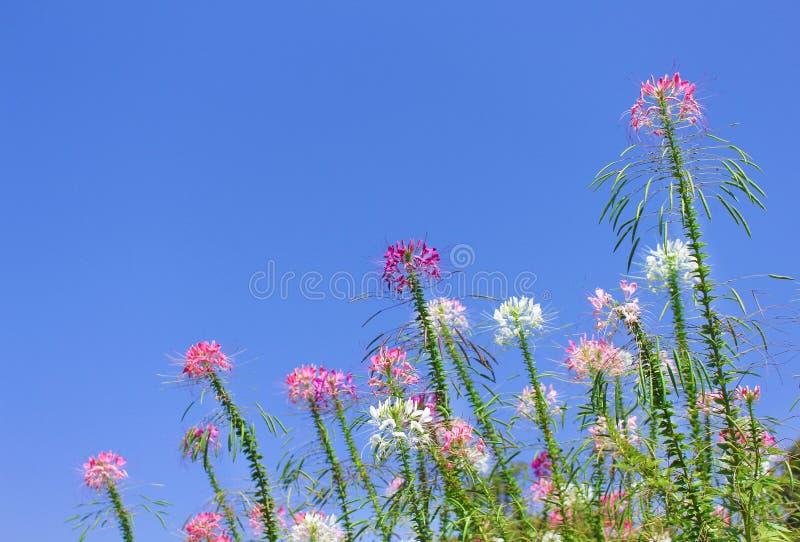 As flores de aranha muticolred coloridas agrupam os testes padrões naturais que florescem no fundo brilhante do céu azul fotografia de stock royalty free