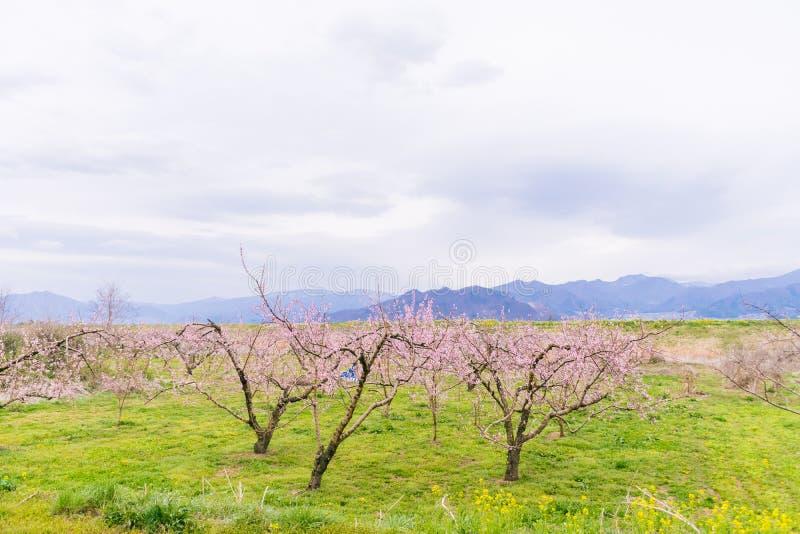 As flores de Beautifu na primavera, ameixa japonesa florescem flor de Ume fotografia de stock