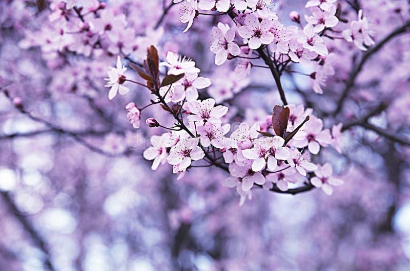 As flores de cerejeira na mola, as árvores de cereja no parque, Rotehorn Alemanha foto de stock royalty free