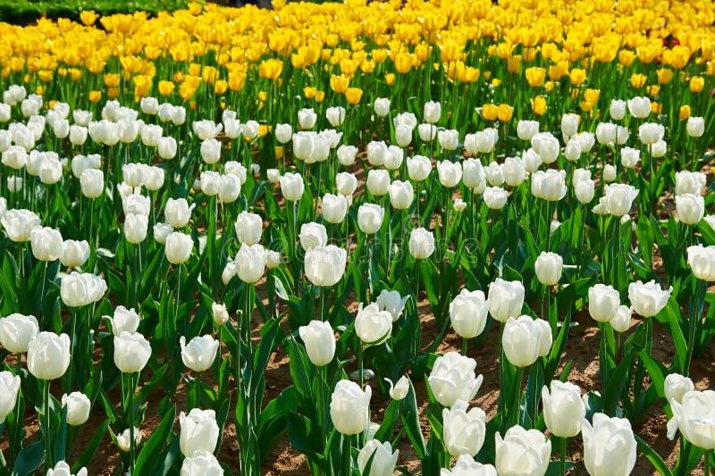 As flores de florescência da tulipa imagem de stock