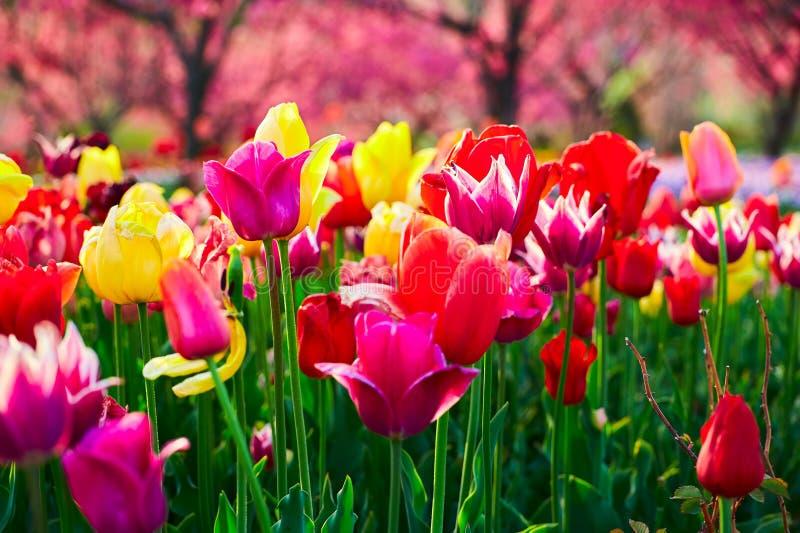 As flores de florescência da tulipa imagens de stock