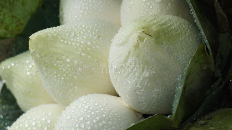 As flores de lótus brancos estão molhando imagem de stock royalty free