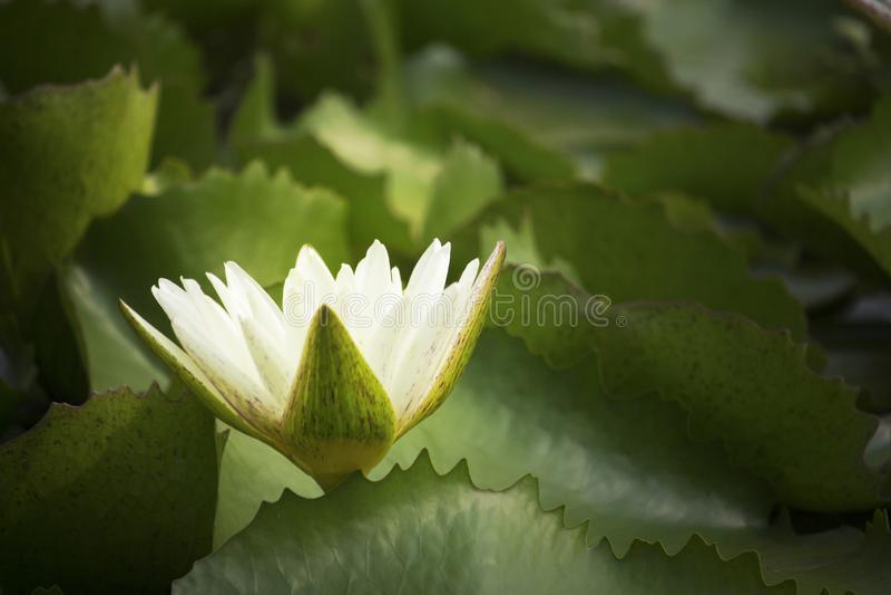 As flores de lótus brancos florescem na lagoa no parque da manhã foto de stock royalty free