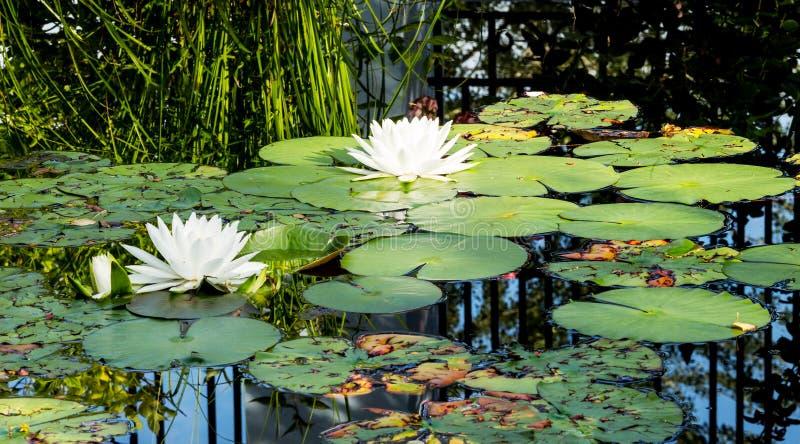 As flores de lótus brancos ou os lírios de água bonitos na lagoa ea imagens de stock royalty free