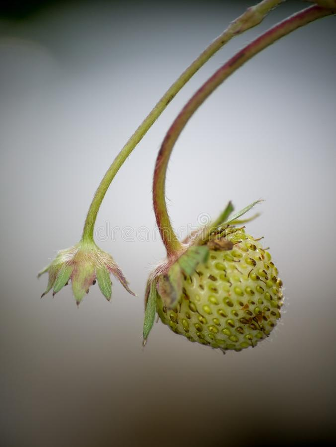 As flores de Stryberry são frescas com gotas na árvore foto de stock royalty free