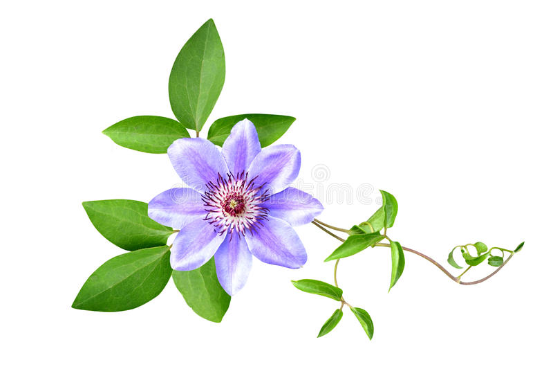 As flores do Clematis são isoladas fotografia de stock