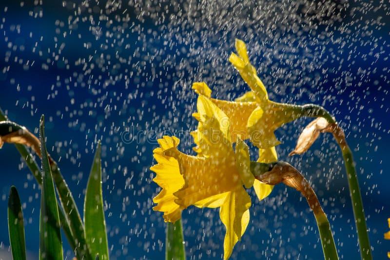 As flores do narciso amarelo fecham-se acima na primavera do tempo com fundo azul fotos de stock