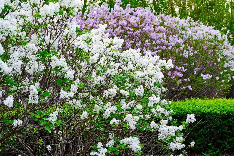 As flores do oblata do syringa do branco imagens de stock