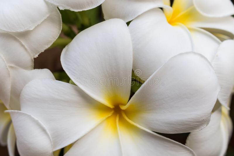 As flores do por do sol e do frangipani imagem de stock royalty free