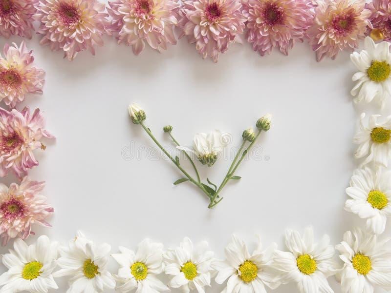 As flores do rosa e as brancas, aquelas são chamadas Crisântemo, colocado em dois cantos do quadro no fundo branco fotos de stock royalty free