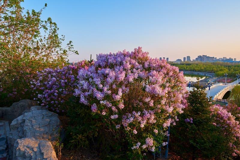 As flores do rosa e o nascer do sol lilás da ponte foto de stock