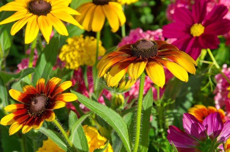 As flores do Rudbeckia florescem no jardim imagens de stock royalty free