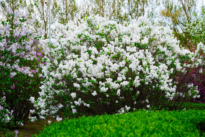 As flores do syringa do branco foto de stock