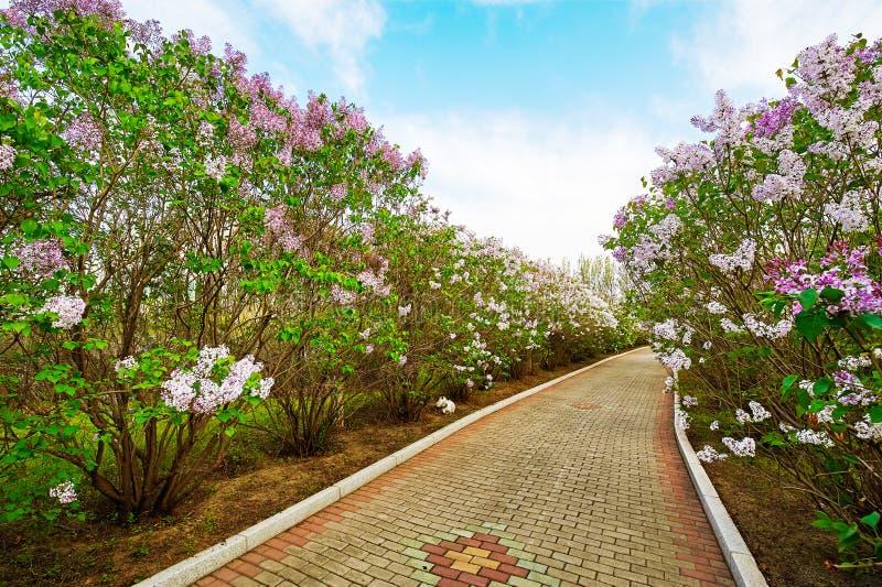 As flores do trajeto e do lilás fotografia de stock royalty free