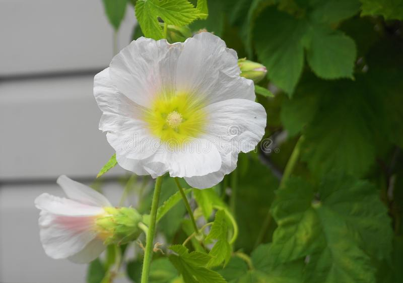 As flores dobro-florescidas brancas bonitas e delicadas das malvas rosas fecham-se acima imagem de stock royalty free