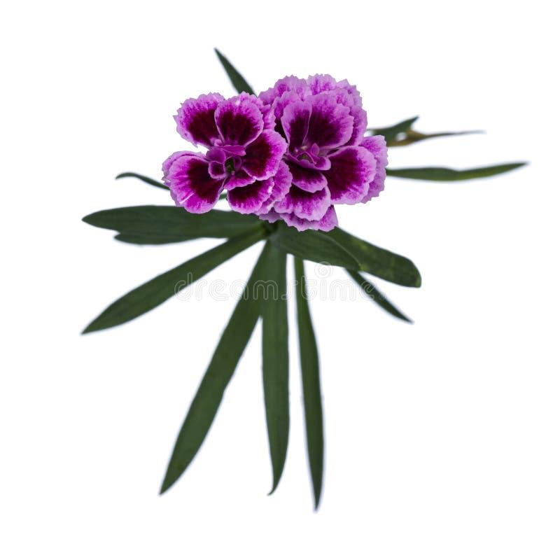 As flores dos beijos cor-de-rosa do cravo-da-índia 'no fundo branco imagem de stock