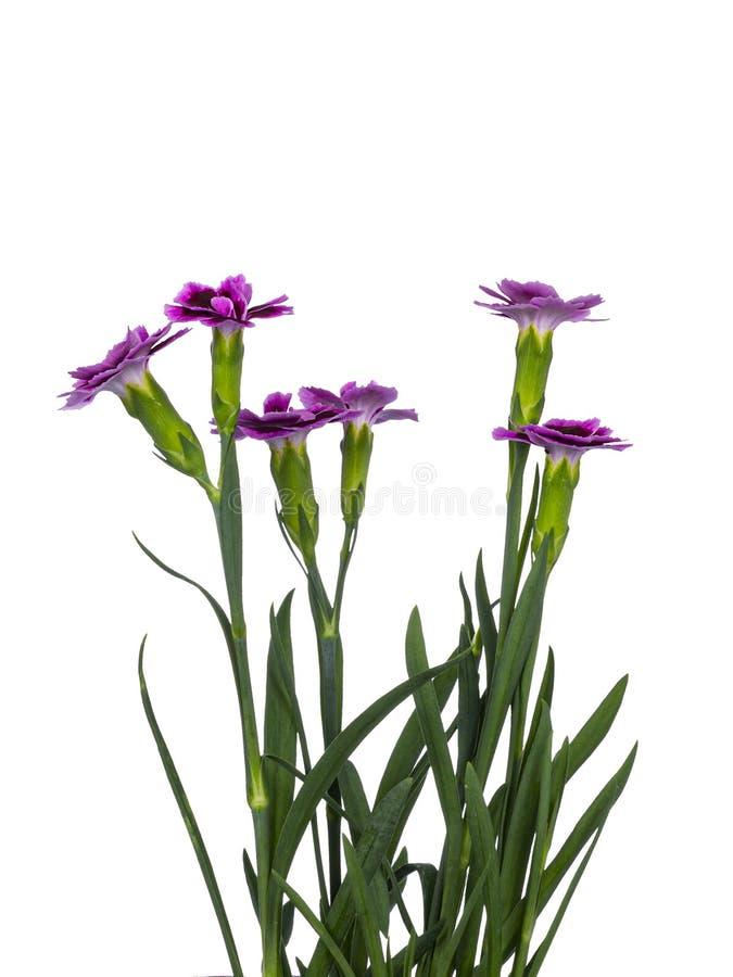 As flores dos beijos cor-de-rosa do cravo-da-índia 'no fundo branco fotografia de stock royalty free