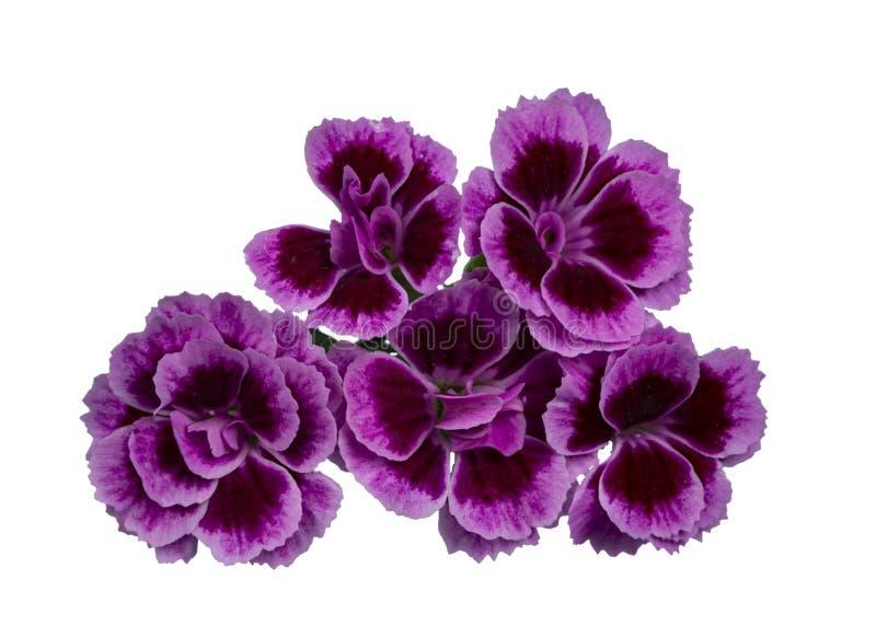 As flores dos beijos cor-de-rosa do cravo-da-índia 'no fundo branco fotos de stock