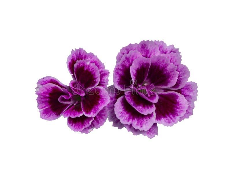 As flores dos beijos cor-de-rosa do cravo-da-índia 'no fundo branco foto de stock