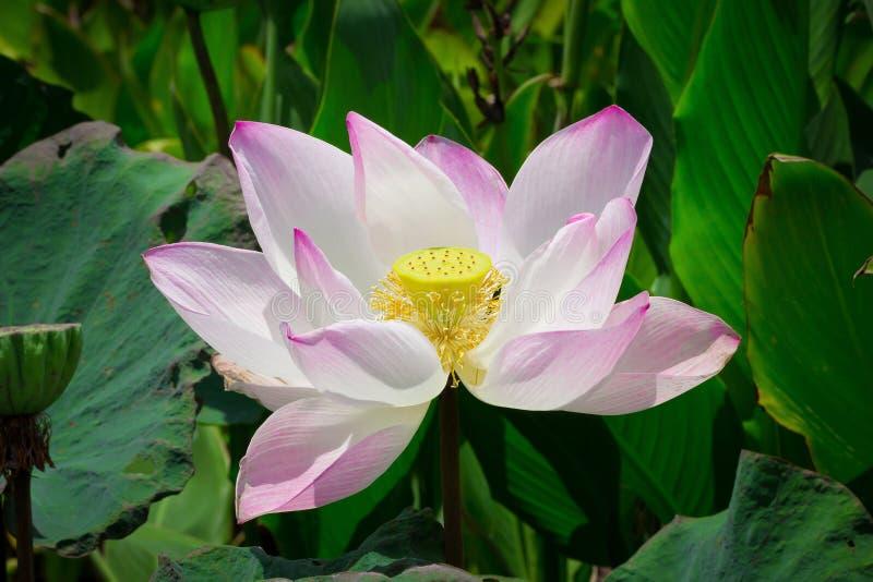 As flores dos lótus ou o lírio de água cor-de-rosa florescem a florescência na lagoa foto de stock