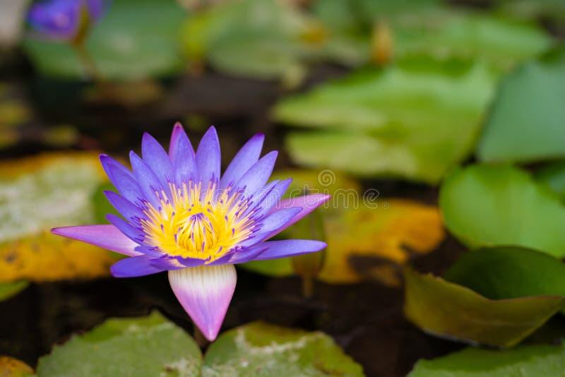 As flores dos l?tus ou o l?rio de ?gua cor-de-rosa florescem a floresc?ncia na lagoa imagens de stock royalty free
