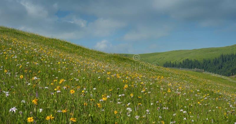 As flores e as ervas do prado florescem nos Carpathians contra o contexto das florestas e das montanhas no verão imagem de stock