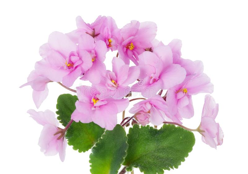 As flores e as folhas internas das violetas do rosa da mola isolaram macro fotos de stock