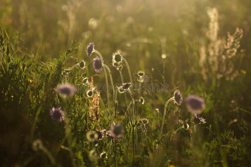 As flores e a grama iluminaram-se por ensolarados morno em um prado do verão, fundos naturais do sumário para seu projeto  imagens de stock royalty free