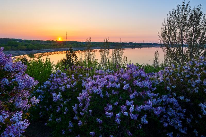 As flores e o lago lilás bonitos molham o nascer do sol fotos de stock royalty free