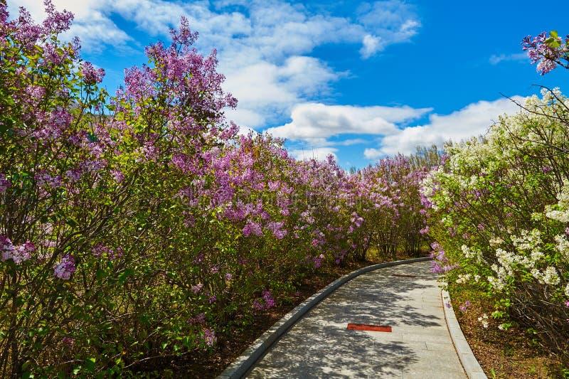 As flores e o trajeto lilás de florescência da violeta imagens de stock