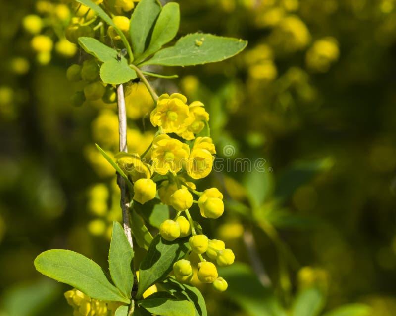 As flores e os botões amarelos aglomeram-se na florescência bérberis comum ou europeia, Berberis vulgar, foco macro, seletivo fotos de stock royalty free