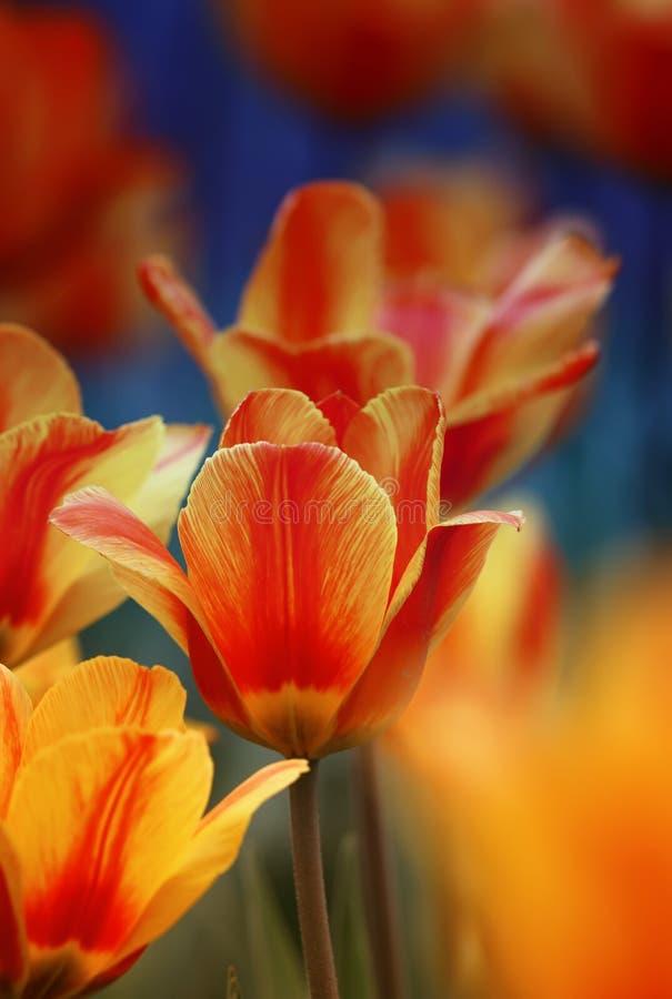 As flores e os botões brilhantes de uma tulipa florescem na mola no garde imagens de stock royalty free
