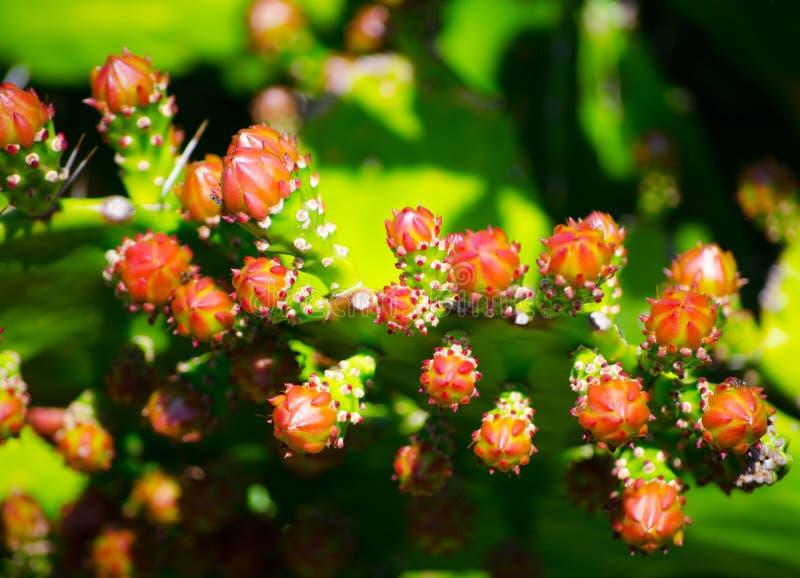 As flores em botão aparecem da parte superior do cacto de pera espinhosa foto de stock
