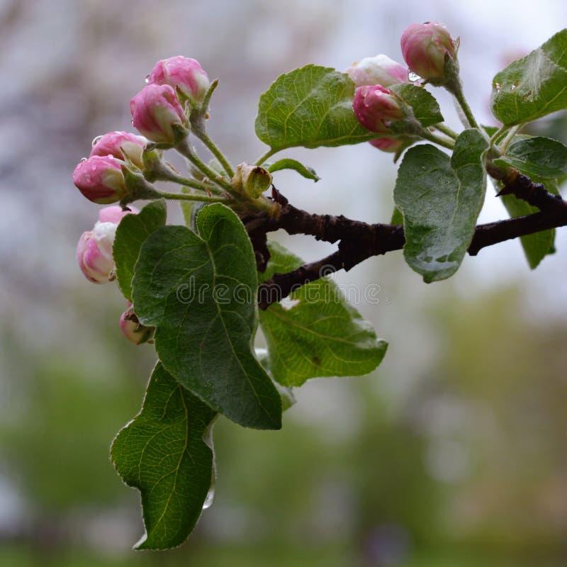 As flores em botão da árvore de maçã após a chuva com água deixam cair imagens de stock