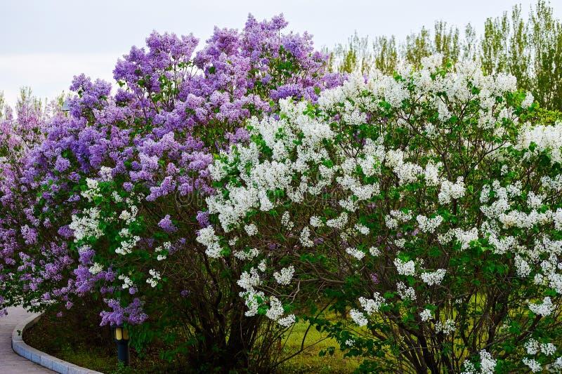 As flores lilás de florescência foto de stock