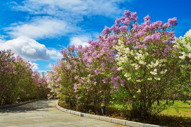 As flores lilás de florescência da violeta fotografia de stock royalty free