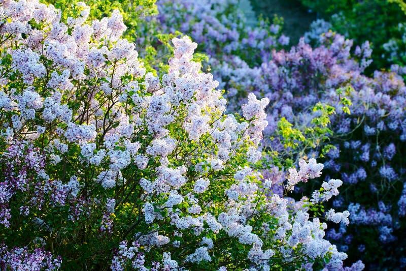 As flores lilás do branco no jardim fotos de stock