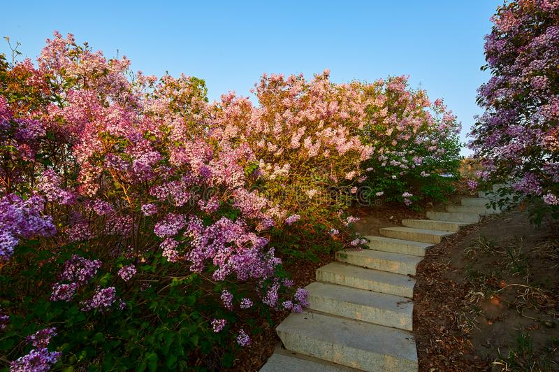 As flores lilás do rosa e as etapas de pedra no nascer do sol do jardim fotos de stock royalty free