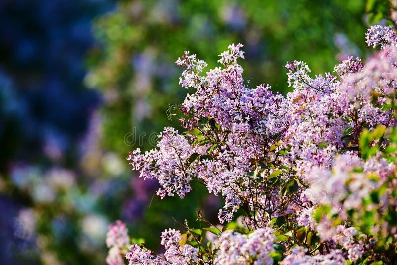 As flores lilás do rosa no jardim imagens de stock