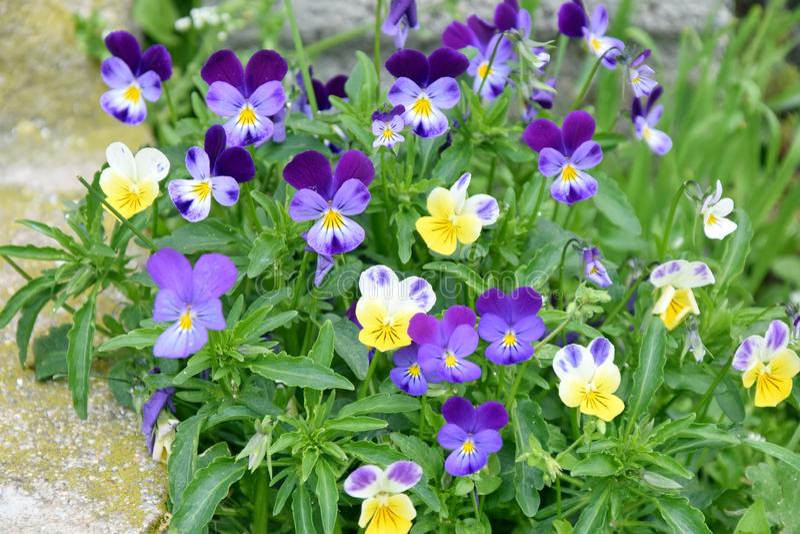 As flores minúsculas das violetas selvagens dirigem a foto do estoque do jardim fotografia de stock