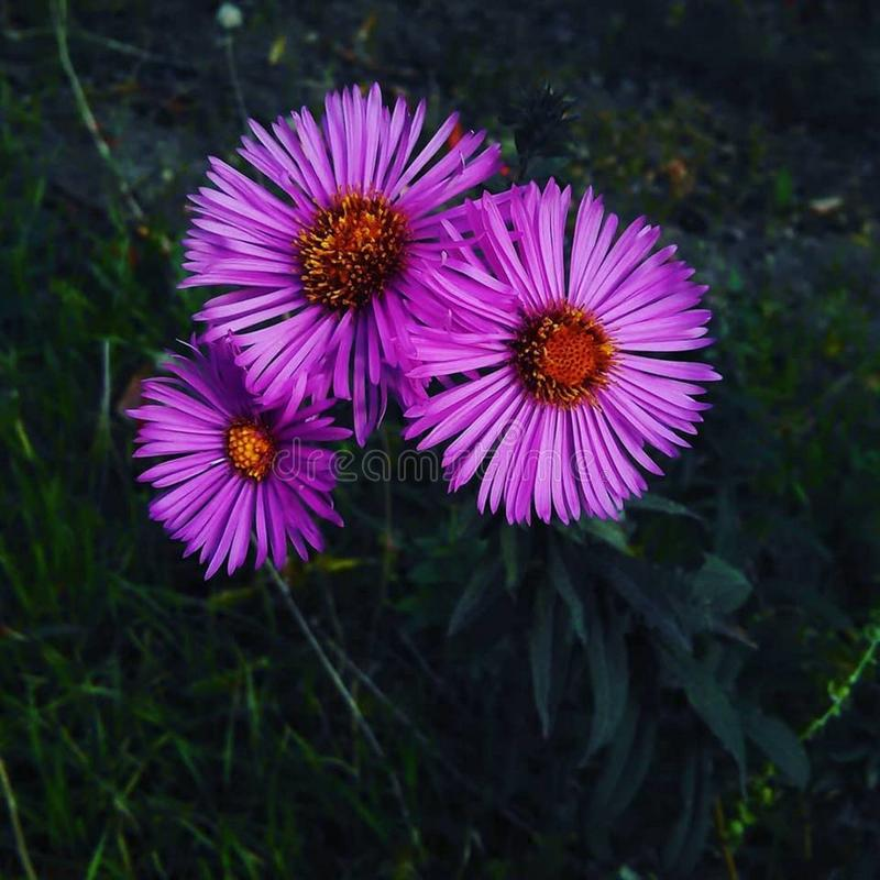 As flores mornas e bonitas do outono ainda estão florescendo foto de stock royalty free