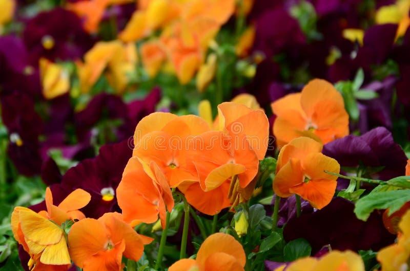 As flores multicoloridos ou os pansies do amor perfeito fecham-se acima como o fundo ou o cartão fotografia de stock