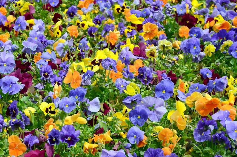 As flores multicoloridos ou os pansies do amor perfeito fecham-se acima como o fundo ou o cartão fotos de stock