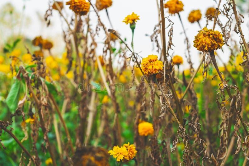 As flores murcharam ao longo do tempo e fundo das flores fotografia de stock