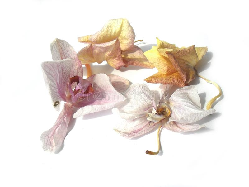 As flores murchos da orquídea no fundo branco imagens de stock