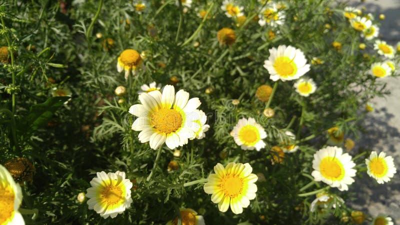 As flores pequenas brancas moeram bunchy fotos de stock