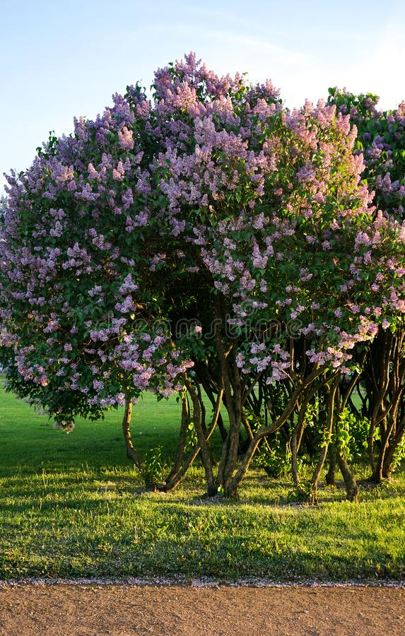 As flores picam Bush lilás bonito foto de stock