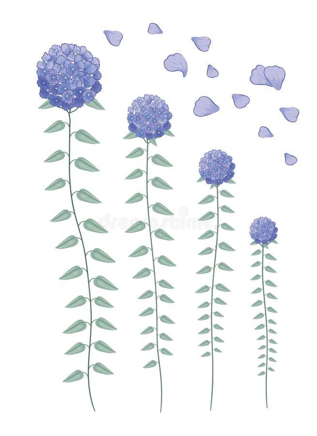 As flores roxas bonitas da hortênsia ajustaram-se isolado no fundo branco ilustração stock