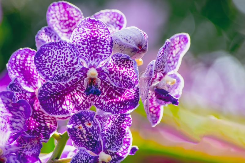 As flores roxas bonitas da orquídea em um ramo em um jardim das orquídeas fecham-se acima imagens de stock